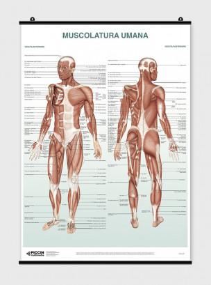 Poster Muscolatura umana