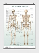 The Skeletal System Poster